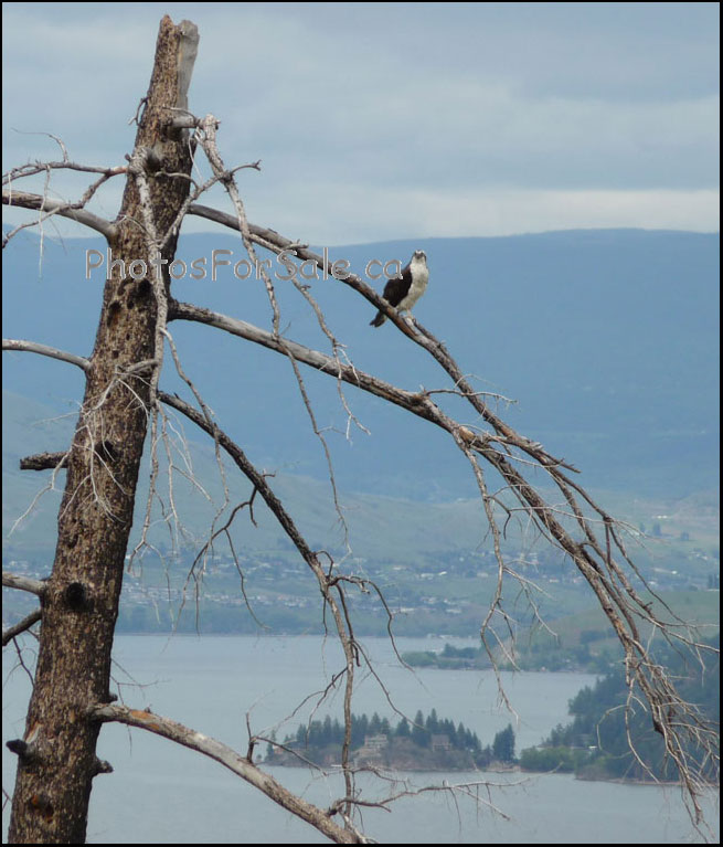 Okanagan BC Osprey Photo for Sale showing Vernon BC in the background