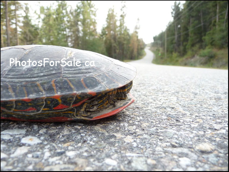 Painted turtle crossing Westside Road BC in the Okanagan BC photo for sale